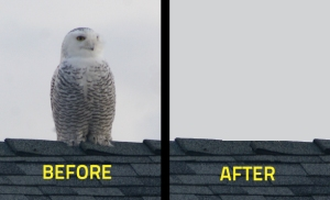 Owl Removal Services